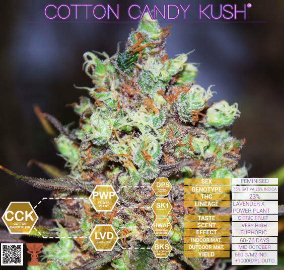 Cotton Candy Kush Delicious Seeds (PACK X 3)